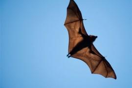 """石正丽新研究:进化""""军备竞赛""""塑造病毒及其受体多样性,需持续监控蝙蝠"""